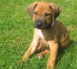 african hound dog breeds picture