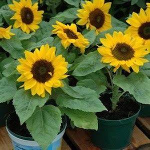 SUNNY SMILE Sunflower Seeds Giant 5 inch blooms top dwarf ...