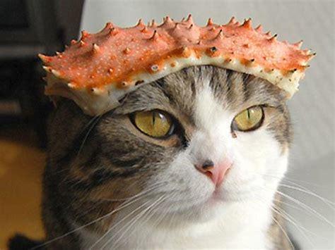蟹の甲羅をかぶる猫
