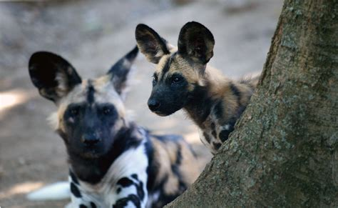 climate change  killing africas wild dogs causing pups