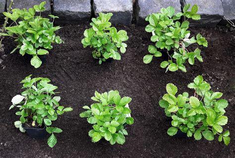 wann erdbeeren pflanzen erdbeeren pflanzen wann ist der beste zeitpunkt gr 252 neliebe