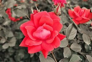 Comment Tailler Les Rosiers : quand et comment tailler les rosiers plantes et nature ~ Nature-et-papiers.com Idées de Décoration