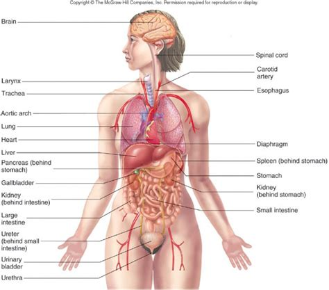 Simple Diagram Of Organ by Free Human Organs Free Clip Free Clip