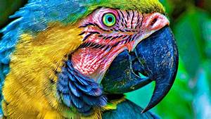 Birds parrots Macaw Blue-and-yellow Macaws wallpaper ...