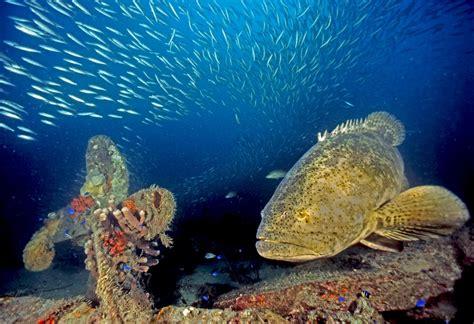 goliath grouper sea species gulf mexico fish endangered underwater creatures marine jewfish ocean most visit atlantic