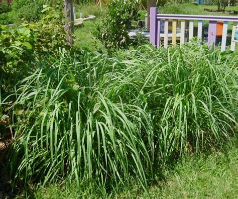 lemongrass landscaping grow food slow food lemon grass top plants