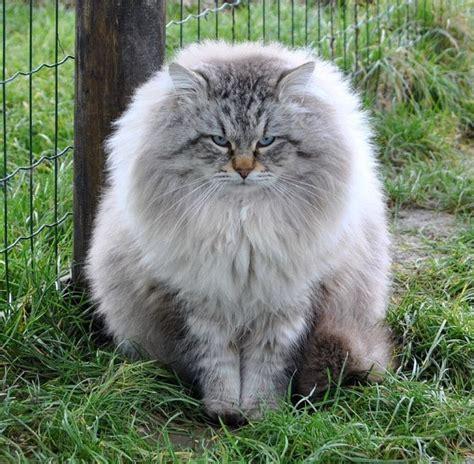 siberian cats 1000 ideas about siberian cat on kitty