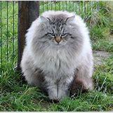 Orange Siberian Kitten | 736 x 721 jpeg 124kB