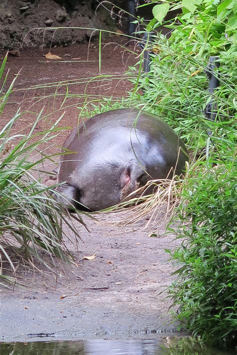 zoo melbourne hippo bum parkville elliott avenue victoria