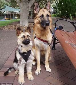 Miniature German Shepherd? Or Playing Tricks With Your ...