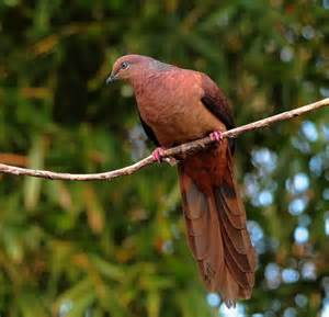Brown Cuckoo Dove