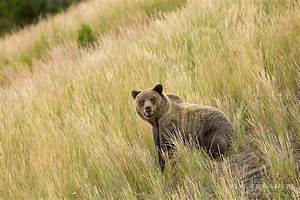 Grizzly Bear In The Greater Yellowstone Ecosystem