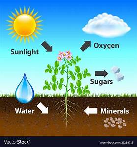 Photosynthesis Diagram Background Vector Image On
