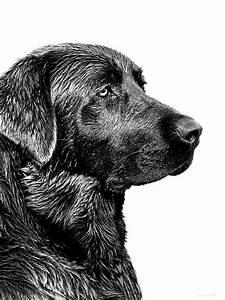 Black Labrador Retriever Dog Monochrome Photograph by ...