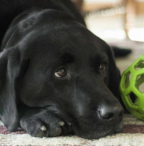 Labrador Dog Black Lab Puppies