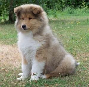 Taille Moyenne Bébé : le colley tous les chien du monde ~ Nature-et-papiers.com Idées de Décoration