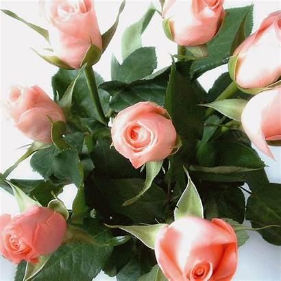 Flores Imagens Rosas Roses Gifs Mensagens Sol