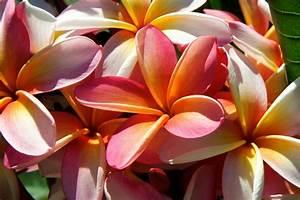 Jeanne Cecile Plumeria Cutting, Maui Plumeria Gardens