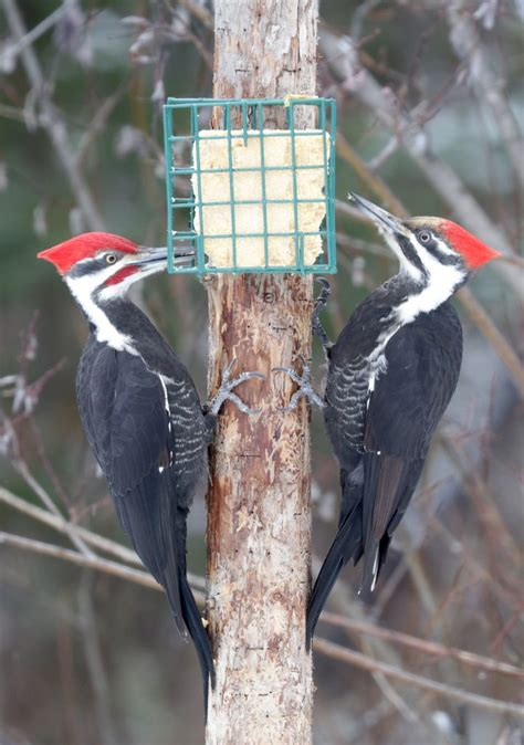pileated woodpecker feeder pileated woodpecker pair at the suet basket feederwatch