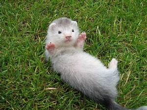 Hi. I am a cute ferret. Please come scratch my belly ...