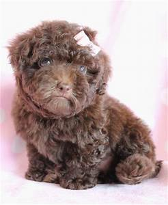Chocolate Brown Teacup Poodle | www.imgkid.com - The Image ...