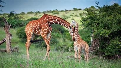 Giraffe Kenya Reticulated Wildlife Africa Animal Wallpapers