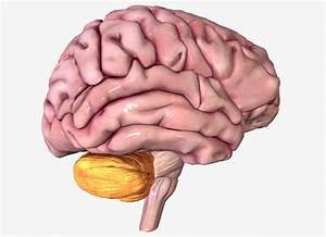Which Lobe Of The Brain Controls Motor Activity
