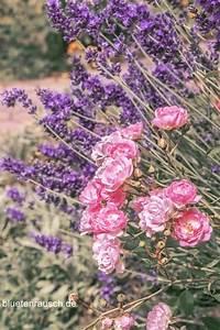Rosen Und Lavendel : rosen und lavendel harmonische kombination bunter bl tenrausch pinterest lavendel ~ Yasmunasinghe.com Haus und Dekorationen