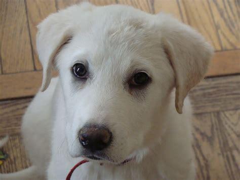 Akbash Dog Info Temperament Training Facts Puppies