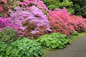 images rhododendrons 6 images and videos of plants and With garten planen mit bonsai azalee