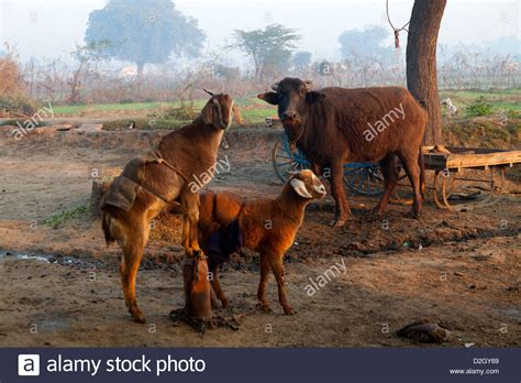animali da cortile india uttar pradesh agra animali da cortile in zona