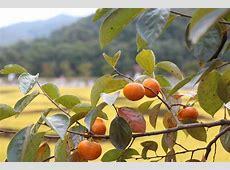 柿 秋 柿の木 · Pixabayの無料写真