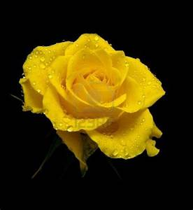 Beautiful Yellow Rose Wallpapers: Beautiful by Free HD ...