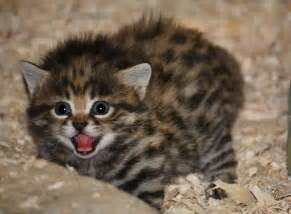 black footed cat black footed cat animals