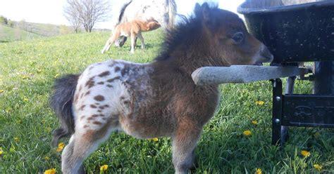 horses mini tiny pony horse miniature baby cute appaloosa ponies fluffy chevaux cutest animal ride panda caballos miniatura adorable caballitos