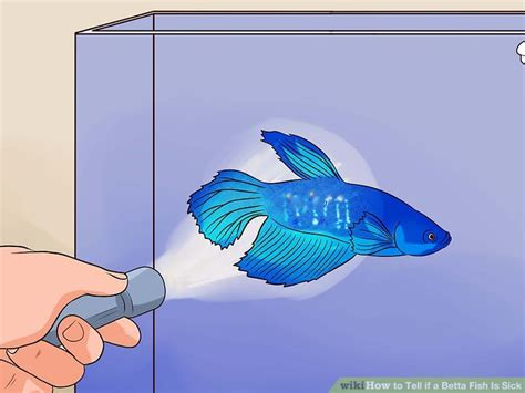 6 Ways To Tell If A Betta Fish Is Sick