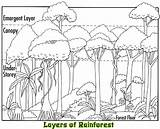 Rainforest Layers Coloring Facts Canopy Animals Layer Emergent Plants Sketch Tropical Trees Clip Project Forest Drawings Jungle Google Habitat Rain sketch template