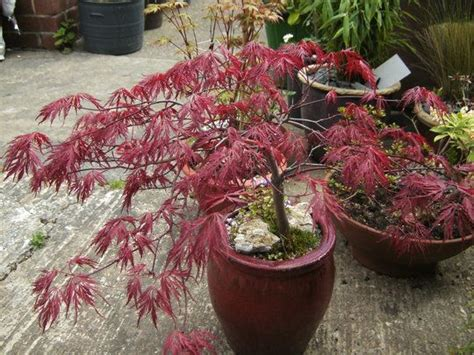 the 19 best images about shade border on acer