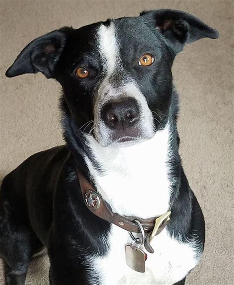 Mcnab Dog