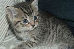 **Adorable Grey/Brown Stripy Tabby kitten for sale ...