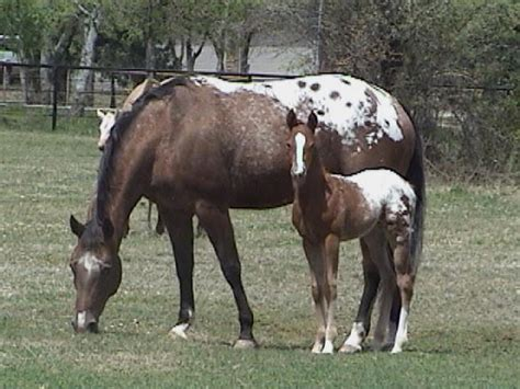 texas horse horses country mustang heritage info appaloosa american animals pure western