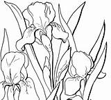 Coloring Adult Floral Flowers Pages Iris Flower Fairy Drawings Drawing Line Printable Printables Outline Irises Thegraphicsfairy Clip Watercolor Graphics Draw sketch template