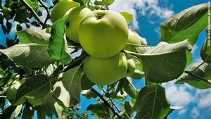 Wann äpfel Ernten : erste pfel ernten schweizer garten ~ Lizthompson.info Haus und Dekorationen