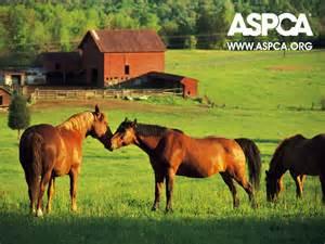 ASPCA Horse Slaughter