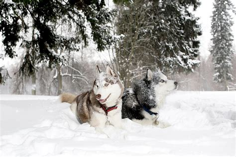 Top 10 Dog Breeds That Love Cold Weather