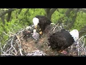 Minnesota Bald Eagles bring cat? to nest and then a fish ...