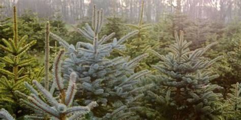 best nc christmas tree farm tree farms near me the best tree farms in america