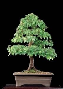 Bonsai Arten Für Anfänger : chinesische ulme ulmus parvifolia bonsai ~ Sanjose-hotels-ca.com Haus und Dekorationen