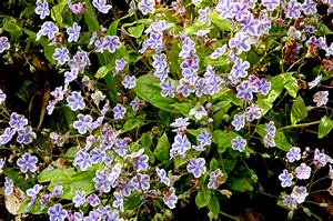 omphalodes planter et entretenir ooreka With photos terrasses et jardins 6 pensee planter et entretenir ooreka