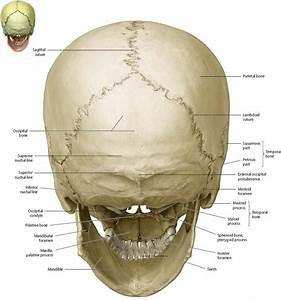 Pin On Anatomy  Head  U0026 Neck